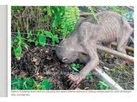 馬來西亞植物園驚現「咕嚕」 全身光禿禿還有利爪