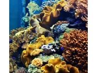 珊瑚是植物還礦物? 海生館:「刺絲胞」動物