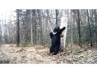 亞洲黑熊磨蹭樹幹「熱舞」 網友:為尾牙表演做準備?