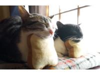 姿勢完全同步!灰貓愛饋吐司枕 萌習慣傳染給貓朋友