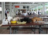 餐桌直接讓給貓! 泰國學校餐廳霸氣餵浪貓沒人罵