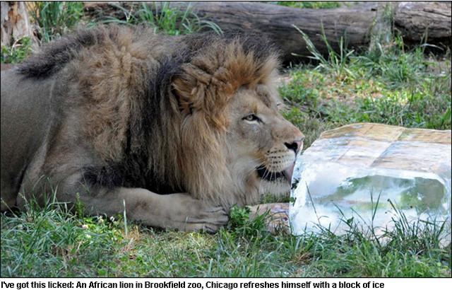 热到受不了日记「舔冰」消暑!|ettoday蜗牛云|etv日记白玉狮子宠物图片