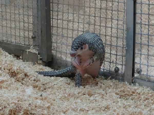 :我终於学会吃蚂蚁窝啦!(图/台北市立动物园)-穿山甲宝宝终於