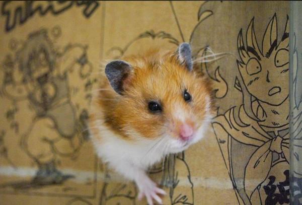 日本巧手饲主自制漫画小纸箱 让萌鼠一秒变美少女战士