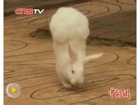 廣西兔子倒立走路 網友讚「兔堅強」正能量滿滿