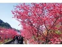全台最浪漫派出所的櫻花開了! 泰安櫻花季19日登場