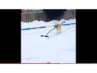 貼心拉布拉多腳滑還是要剷雪 咬鏟子跑遍曲棍球場