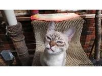 天生臭臉的貓「酸菜」,永遠皺著眉頭。(圖/達志影像)
