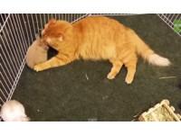 大橘貓擁有慷慨好心腸 用心幫小兔子理毛