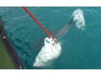 海豚纏漁網受困大甲溪 多次跳躍回眸謝台中海巡隊搶救