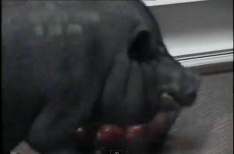 d96092 主人前腳剛走 「鬼祟豬」偷開冰箱吃蘋果