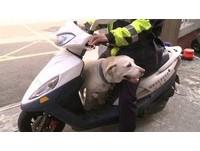 萌到員警不忍心 走失拉布拉多「小白」賴在派出所