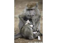 同樣8歲,印尼長尾猴將小貓視如己出,寸步不離照料無微不至。(圖/東方IC)