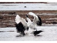 長腿歐巴的逆襲!白尾鷲偷襲丹頂鶴 下一秒卻被踩腳下