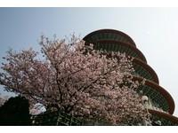 天元宮櫻花大爆發 即日起至31日實施交通管制