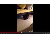 調皮「金絲貓女友」臉超紅 網友:在床下偷吃點心嗎?