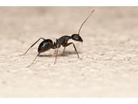 學學螞蟻!牠們總有20-30%在「排休」 更有利組織生存