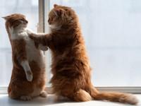 貓奴們甘受得了?霸氣十足的貓壁咚駕到
