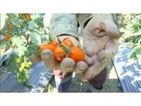 生番茄有毒? 網路謠言害慘農民