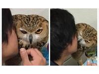 就是要黏在一起! 日本超萌貓頭鷹最愛跟主人玩親親