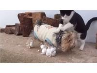 約克夏和黑白喵一起玩 結果...狗狗腿上滿是雪球!