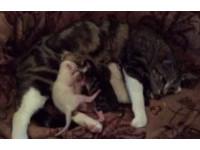 這就是生存!2隻幼貓搶喝母奶 剛出生就學會打架