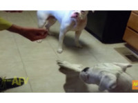 不讓小狗吃點心 「心機狗」伸手擋住牠的眼