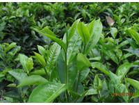 衛福部長簽字預告!廢止茶葉使用氟派瑞 最快5月生效