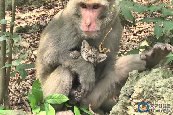 「就像親生的!」 台灣獼猴呵護流浪幼貓被讚感人父愛