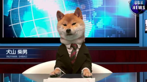 日本廣告聘請「柴犬主播」 播報台上翹腳又打瞌睡
