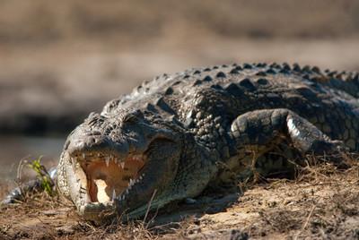 11歲兒被鱷魚拖入水中 勇媽跳水游15公尺霸氣嚇跑牠!