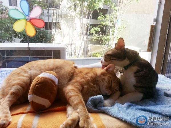 飼主「踩斷」橘貓尾巴嚇得大叫 是同花色的椅腳套啦!