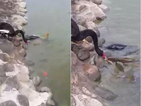 黑天鵝有人性會「餵魚」?專家:吃乾飼料要配水…