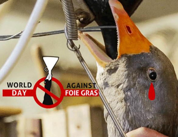 世界反鵝肝日:腳蹼一生沒踩過水,每日被金屬灌食脹死