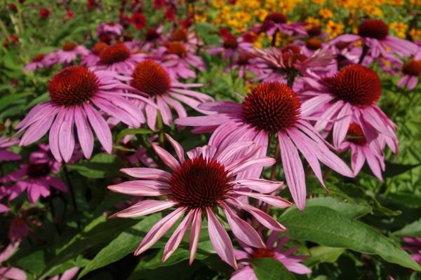 「微感冒」藥不藥? 研究:紫錐花萃取物有效預防緩解