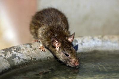內蒙古鼠疫再添1例!「生食野兔」感染 疾管署暫緩發疫情警示