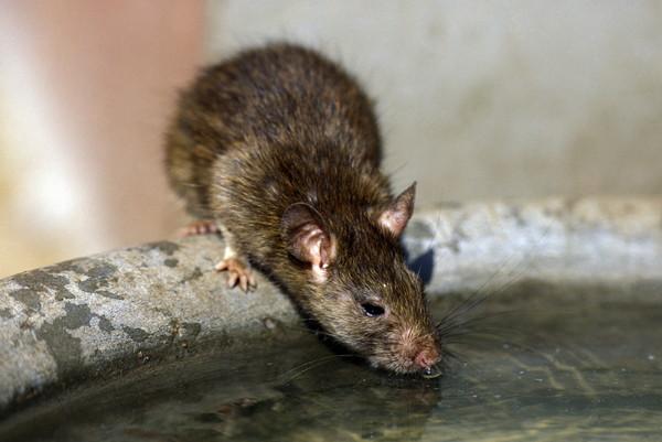 老鼠(圖/達志/示意圖)