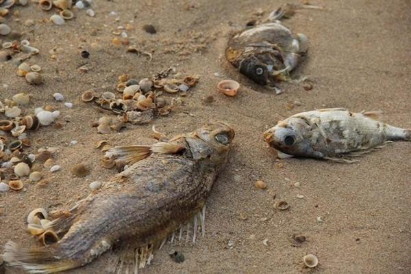 死魚報告出爐!台塑越南鋼廠毒水害魚群 鞠躬歉賠160億