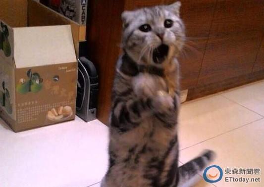 摺耳貓錢錢手抱胸「忘情飆高音」 網笑:想拿麥給牠了