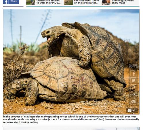 ▲威廉斯拍下珍貴的一幕,豹紋陸龜開心交配。(圖/翻攝自每日郵報)