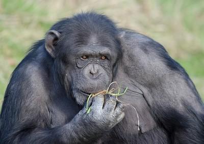 美國在賴比瑞亞野放實驗室猩猩 驚傳變成食人族!