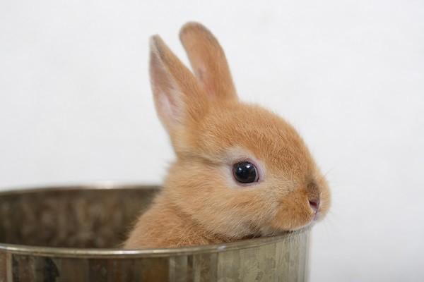 兔子,寵物,兔(圖╱達志╱示意圖)