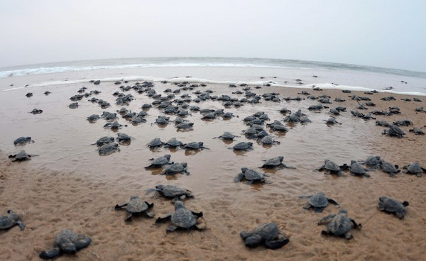 數萬新生麗龜爬出印度海灘。(圖/CFP)