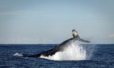 堅持重啟商業捕鯨!海洋守護者協會創辦人批日本「海盜捕鯨國」