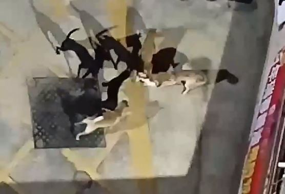 ▲整群狗圍堵撕咬三花貓! 現場關鍵監視器「竟被人遮住」 。(圖/網友楊明勳提供、飼主林小姐提供)