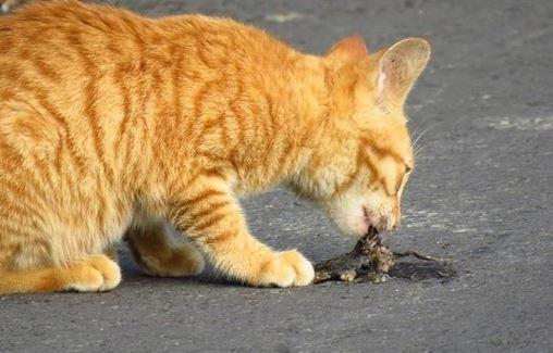 ▲貓咬傷的白尾巴哥。 (圖/包子嘶嘶授權提供。)
