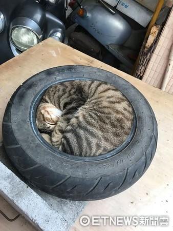 ▲給牠一顆輪胎!虎斑貓睡好睡滿 秒變「神奇海螺」。(圖/網友Che Wei Yang提供)