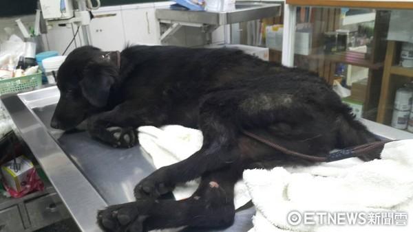 旺旺被撞成重傷,傷勢幾乎沒有處理,就被丟在騎樓。(圖/高雄市關懷流浪動物協會提供,下同)