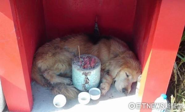 ▲走失一年多...黃金獵犬睡將軍廟 掃到晶片卻回不了家。(圖/「狗腳印幸福聯盟TPKR」授權提供)