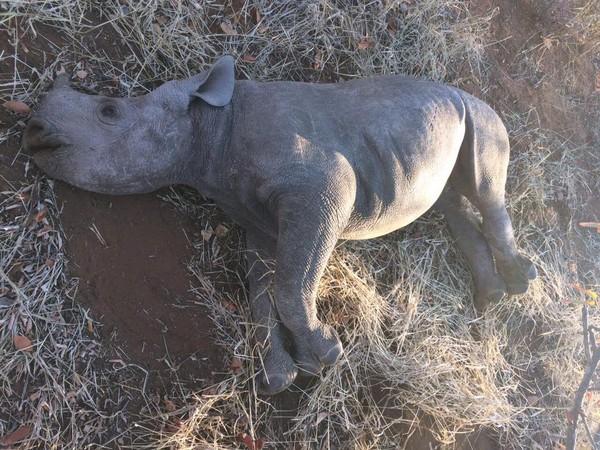 ▲犀牛被殺死。(圖/翻攝自Limpopo Rhino Security Group NPO)